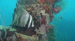 Longfin batfish on silty World War II wreck, Platax pinnatus, HD, UP33548 Stock Footage