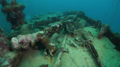 Unidentified smooth encrusting coral on silty World War II wreck, Mycedium sp., Stock Footage
