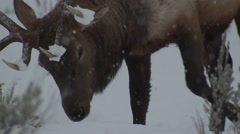 Rocky Mountain Bull Elk Feeding in Snowstorm at Yellowstone National Park Stock Footage