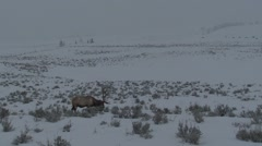 Trophy Bull Elk Feeding in Snowstorm in Yellowstone National Park - stock footage