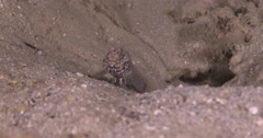 Target shrimpgoby breathing in dead end silty cavern, Cryptocentrus Stock Footage