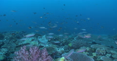 Ocean scenery slow drift over diverse hard coral, lots of planktivores feeding, Stock Footage