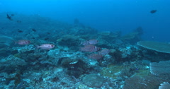 Crescent-tail bigeye hovering and schooling on deep coral reef, Priacanthus - stock footage