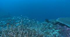 Ternate chromis feeding and schooling on deep coral reef, Chromis ternatensis, Stock Footage