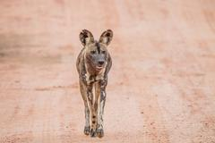 African wild dog walking towards the camera in the Kruger National Park - stock photo