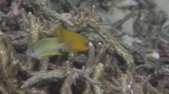 Juvenile Dusky gregory feeding on unusually clear fully calm inshore coral reef Stock Footage