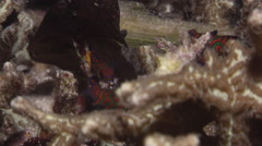 Mandarinfish swimming on unusually clear fully calm inshore coral reef at dusk, Stock Footage