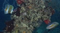 Orangebanded coralfish feeding on silty inshore reef, Coradion chrysozonus, HD, Stock Footage