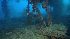 Orangebanded coralfish feeding on lagoon World War II wreck, Coradion Stock Footage