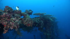 Side-attached plate coral on lagoon World War II wreck, Acropora simplex, HD, Stock Footage