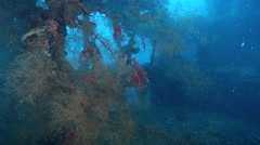 Bushy brown black coral feeding on lagoon World War II wreck, Antipathes sp., Stock Footage