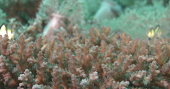 Juvenile Reticulated damsel feeding on hard coral microhabitat, Dascyllus Stock Footage