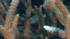 Fragile cardinalfish swimming on hard coral microhabitat, Zoramia virdiventer, - stock footage