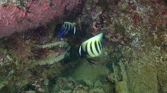 Six-banded angelfish feeding on lagoon World War II wreck, Pomacanthus Stock Footage