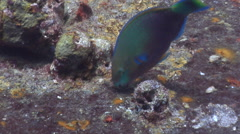Male adult Quoys parrotfish feeding on lagoon World War II wreck, Scarus quoyi, Stock Footage