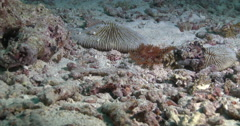 Juvenile Crown of thorns starfish walking on rubble, Acanthaster planci, 4K Stock Footage