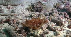 Juvenile Crown of thorns starfish walking, Acanthaster planci, 4K UltraHD, - stock footage