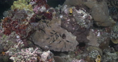 Juvenile Spiny chromis hiding on coral reef at dusk, Acanthochromis Stock Footage
