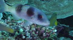 Doublebar goatfish on seaward wall, Parupeneus crassilabrus, HD, UP33738 Stock Footage