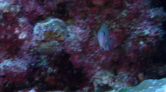 Ambon chromis feeding on seaward wall, Chromis amboinensis, HD, UP33753 Stock Footage
