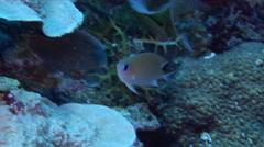 Ambon chromis feeding on seaward wall, Chromis amboinensis, HD, UP33757 Stock Footage