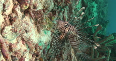 Vertical display shot of Common lionfish swimming on rubble, Pterois volitans, Stock Footage