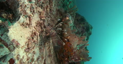 Vertical display shot of Common lionfish swimming on deep coral reef, Pterois Stock Footage