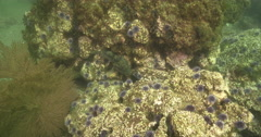 Grass rockfish on rocky reef covered in seaweed and kelp, Sebastes rastrelliger, Stock Footage