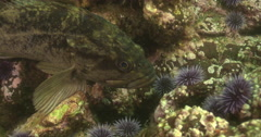 Grass rockfish looking around on rocky reef covered in seaweed and kelp, Stock Footage