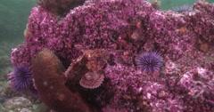 California scorpionfish on rocky reef, Scorpaena guttata, 4K UltraHD, UP33824 Stock Footage