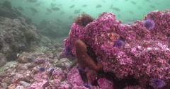 California scorpionfish ambush predator waiting on rocky reef covered in seaweed Stock Footage