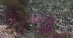 Kelp rockfish, Sebastes atrovirens, 4K UltraHD, UP33828 Stock Footage