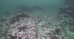 California steephead swimming on rocky reef covered in seaweed and kelp, Stock Footage