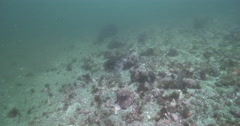 Pile perch feeding on rocky reef covered in seaweed and kelp, Rhacochirus vacca, Stock Footage