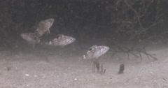 Juvenile Canary rockfish hovering, Sebastes pinniger, 4K UltraHD, UP33839 Stock Footage