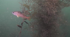 Yellowtail rockfish swimming on rocky reef covered in seaweed and kelp, Sebastes Stock Footage