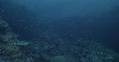 Slender fusilier swimming and schooling on shallow coral reef at dusk, Stock Footage