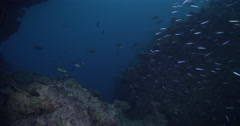 Slender fusilier swimming and schooling on shallow coral reef at dusk. Stock Footage