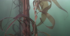 Giant kelp in kelp forest, Macrocystis pyrifera, 4K UltraHD, UP33853 Stock Footage