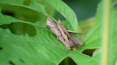 Cricket bugs mating in jungle - stock footage