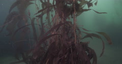 Giant kelp on rocky reef covered in seaweed and kelp, Macrocystis pyrifera, 4K Stock Footage