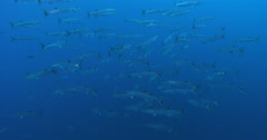 Blackfin barracuda swimming and schooling in bluewater, Sphyraena qenie, 4K Stock Footage