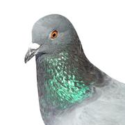 closeup of pigeon  isolated on white - stock photo