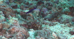 Decorated dartfish swimming on rubble, Nemateleotris decora, 4K UltraHD, UP35330 Stock Footage