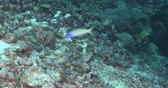 Bluehead tilefish behaving nervously on rubble, Hoplolatilus starcki, 4K Stock Footage