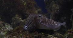 Common cuttlefish in public aquarium, Sepia officinalis, 4K UltraHD, UP33882 Stock Footage