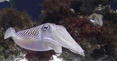 Common cuttlefish swimming in public aquarium, Sepia officinalis, 4K UltraHD, - stock footage