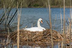 Female White Swan breeding in her Nest. - stock photo