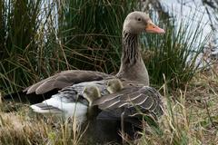 Two Gray Goose Chicken hiding in their Mothers Wing. - stock photo