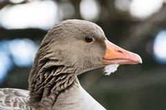 Portrait of a Gray Goose Face Close Up - stock photo